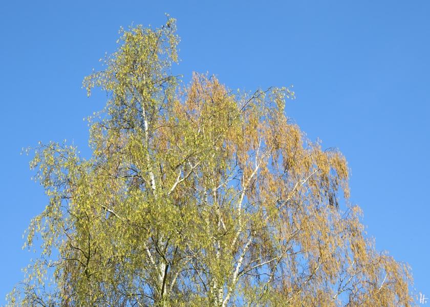 2018-04-17 LüchowSss Garten am Morgen (1) zwei verschiedene Birken - Hängebirke (Betula pendula)